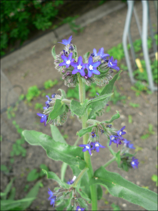Anchusa officinalis L.