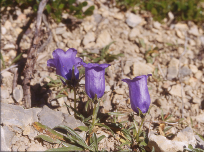 Campanula alpestris All. (=Campanula allionii )