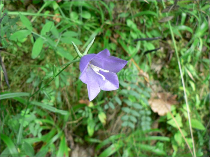 D tail d 39 une plante campanule feuilles de p cher - Campanule a feuilles de pecher ...