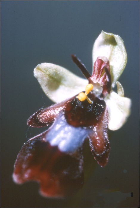 Ophrys insectifera L. (=Ophrys muscifera)