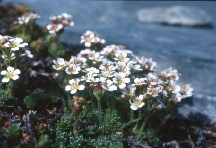 Saxifraga pubescens Pourret