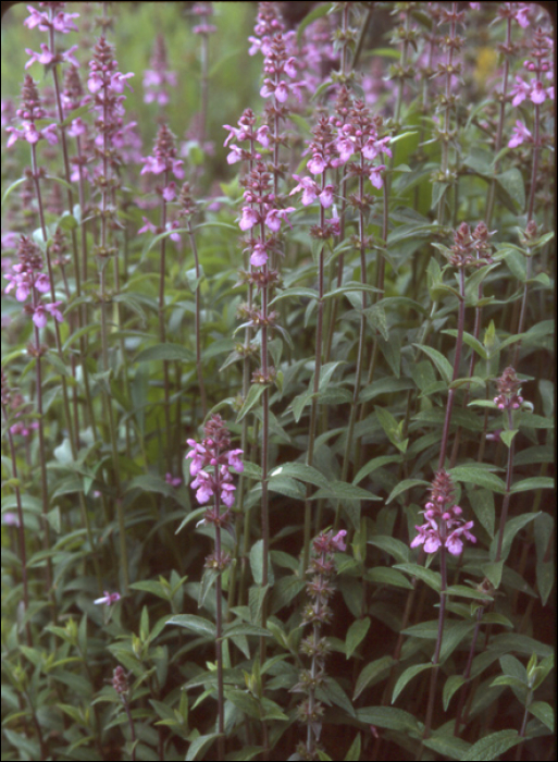 Stachys palustris L.